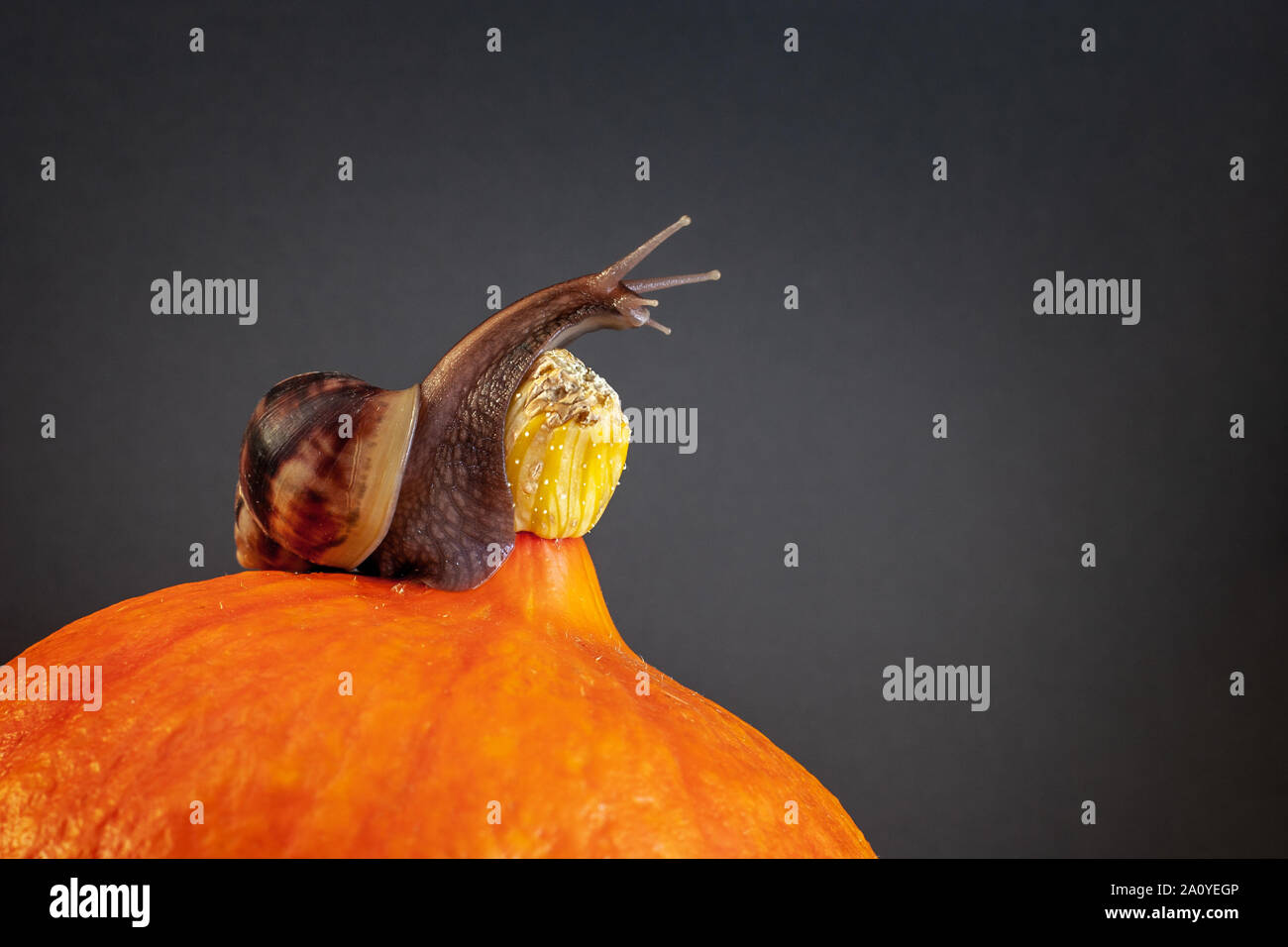 Snail with long tentacles on a pumpkin. The pumpkin is orange, the snail is brown. Elongated neck. Copy space. Vignette. Stock Photo