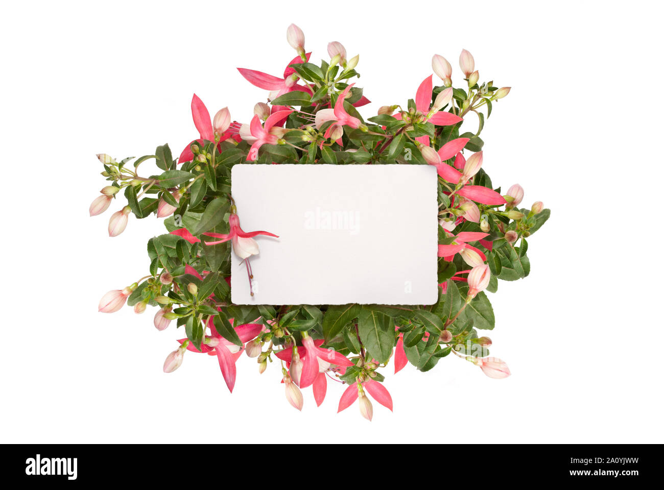 mockup flat lay of blank white paper card in pink fuchsia plug plant, isolated on white background Stock Photo