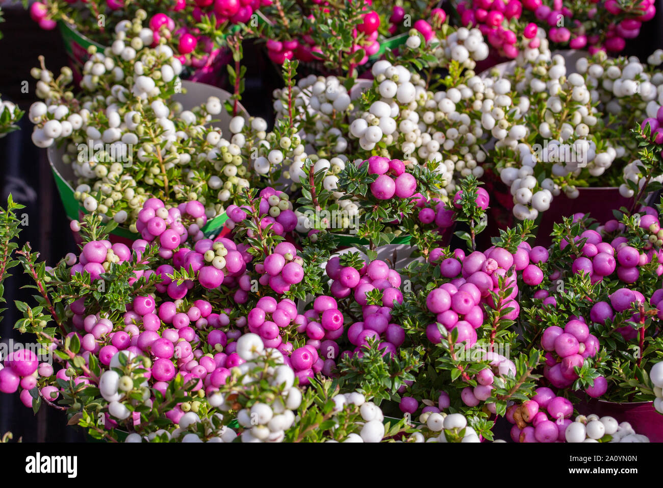 Pernettya Blanc.Gaultheria Mucronata Berry Fruit White Pink Purple Pernettya Gaultheria Potted Plant With Green Foliage Background Horizontal Vegetable Wallpaper Stock Photo Alamy