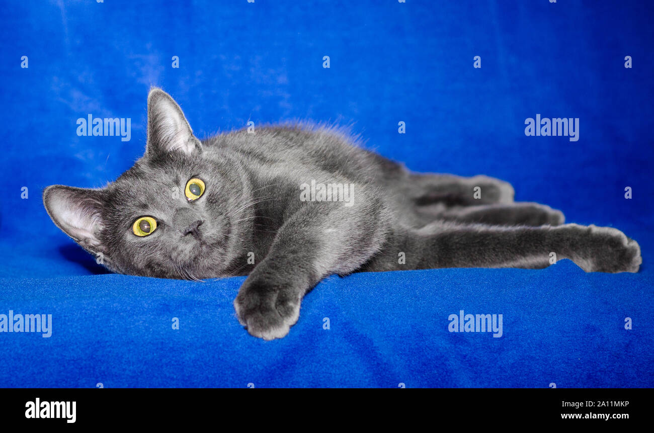 gray shorthair cat plays on a bright blue background Stock Photo