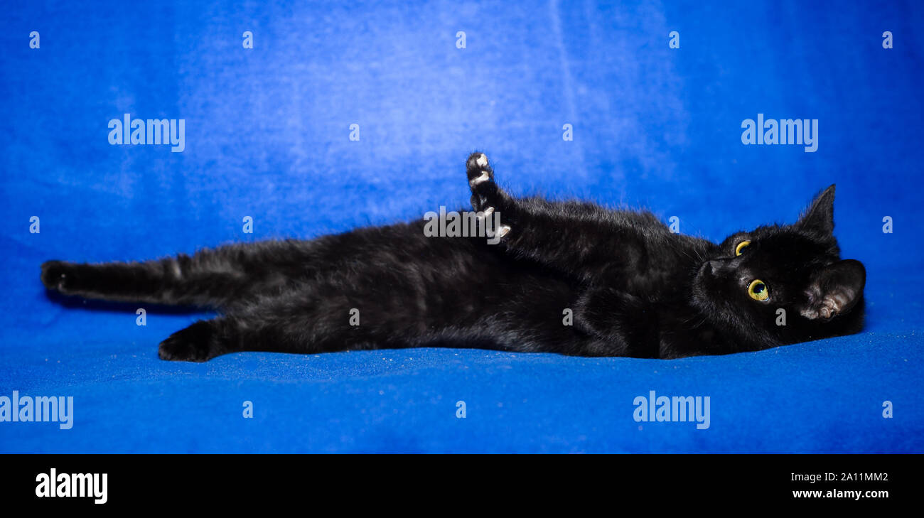 black shorthair cat plays on a bright blue background Stock Photo