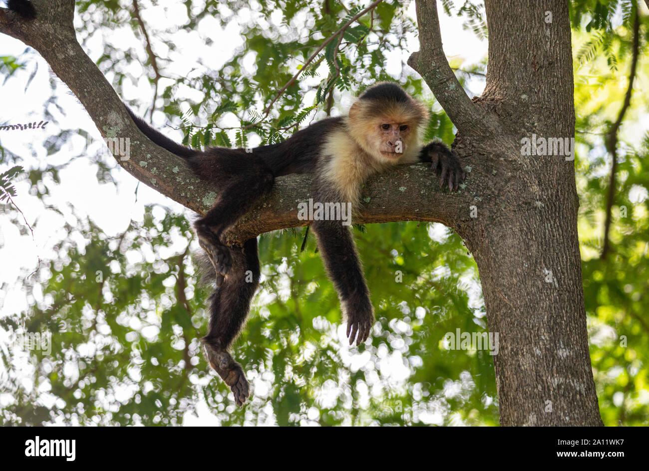 White-faced capuchin (Cebus imitator) near the RIU Palace Hotel in Guanacaste, Costa Rica Stock Photo