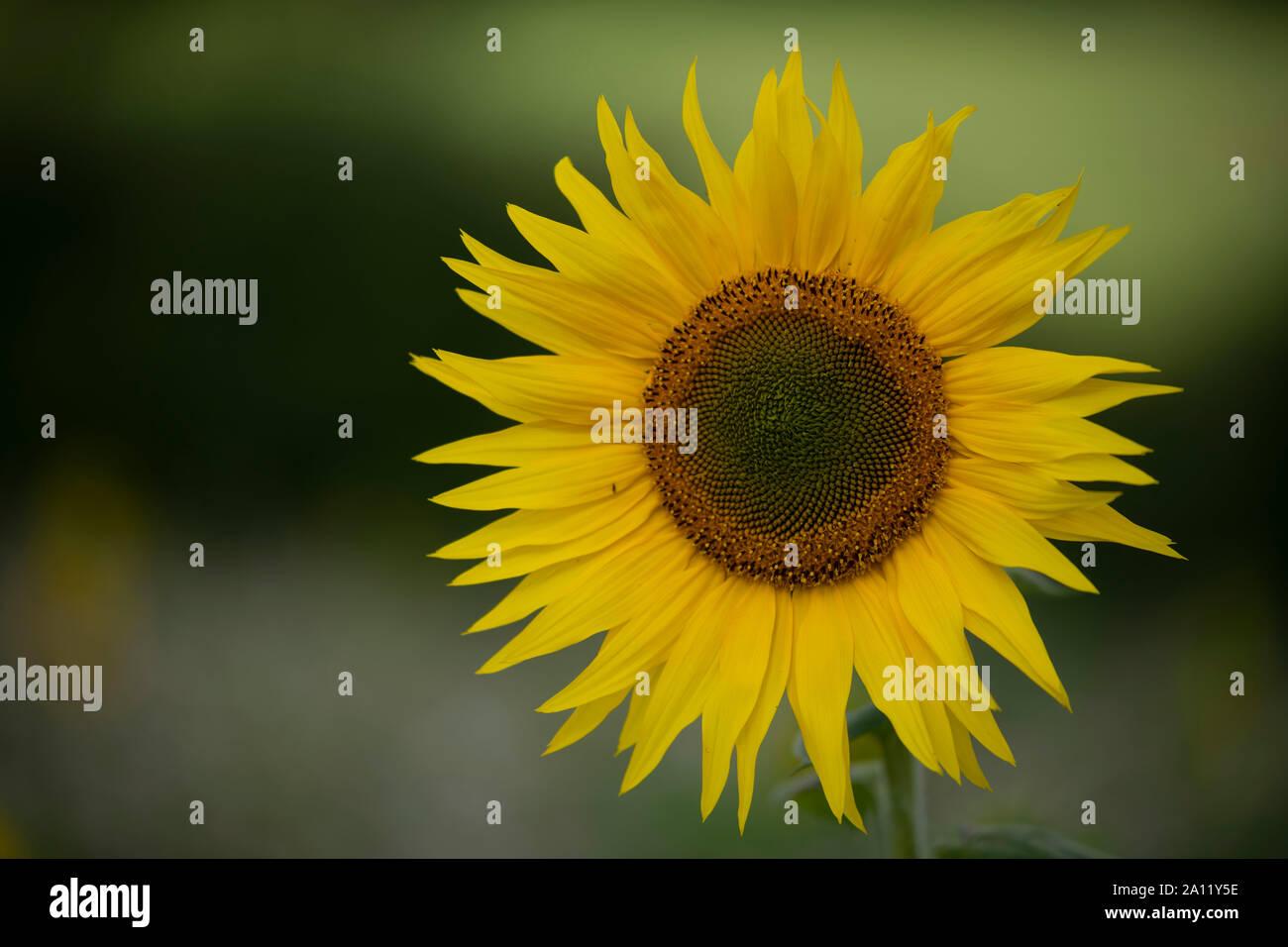 Sunflower,Sonneblume Stock Photo