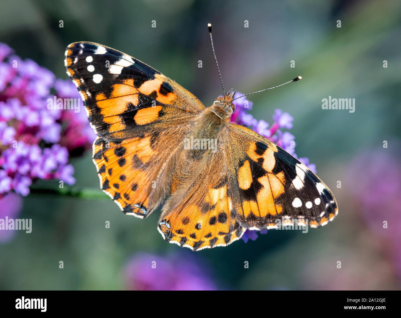 Painted Lady butterfly (Vanessa cardui) feeding on a Verbena flower Stock Photo