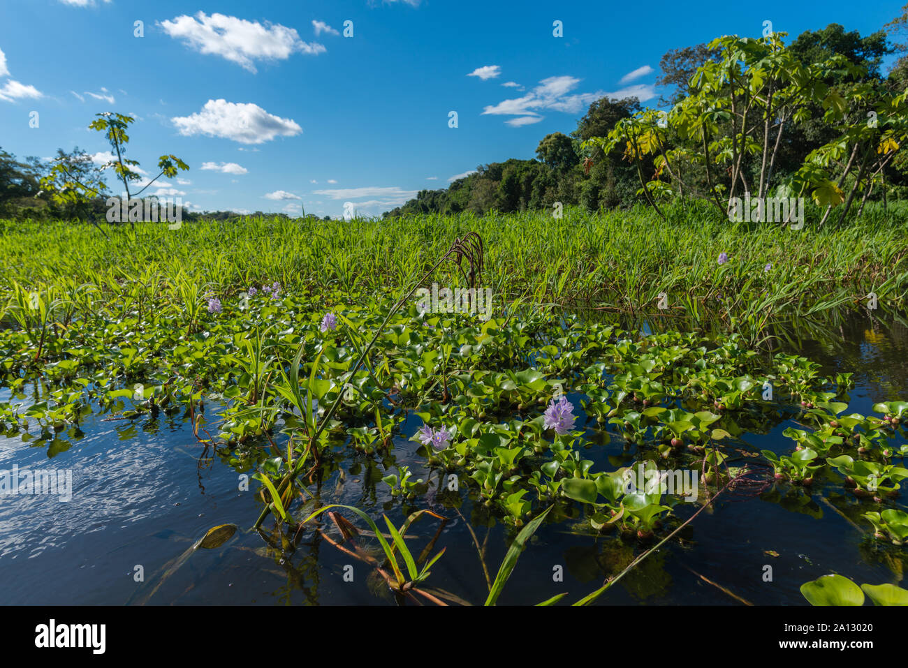 Brazilian rainforest at end of rainy season in  May, Mamirauá Sustainable Development Reserve, Rio Japurá,Tefé, state of Amazon, Brazil, Latin America Stock Photo
