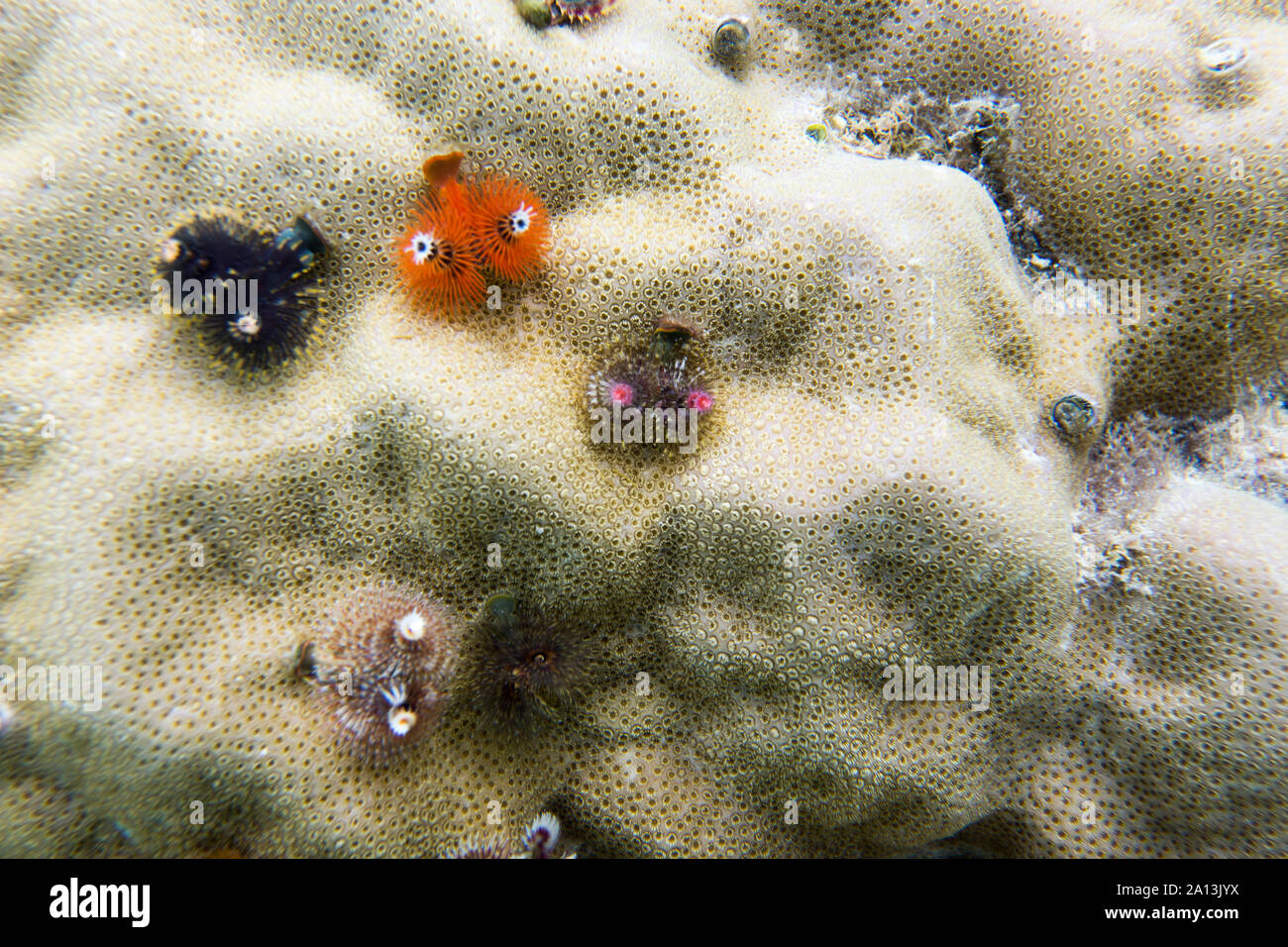 christmas worms close up in Togian islands, sulawesi Stock Photo