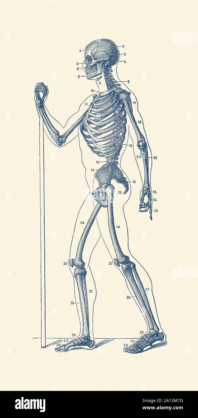 It's just a photo of Satisfactory Life Size Printable Skeleton