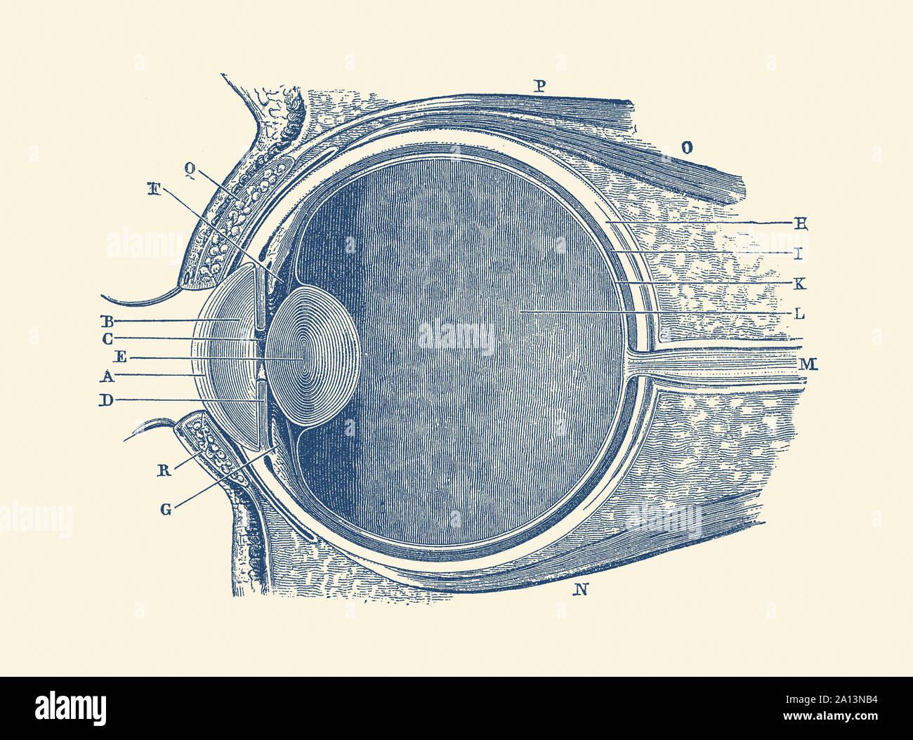 Simple Human Eye Diagram Sketch Of The Human Eye
