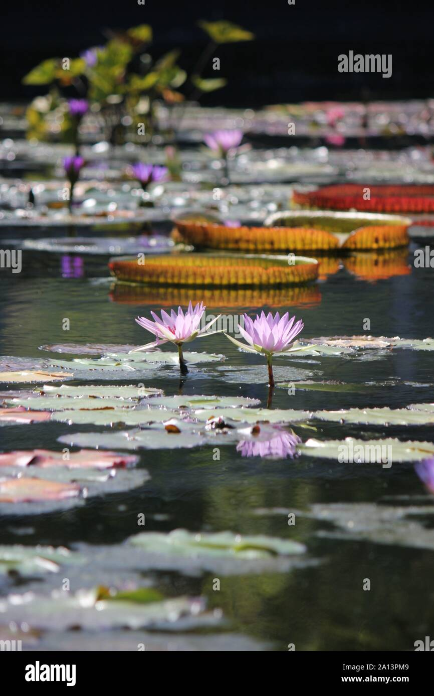 Green giant water lily pads growing in the pond, Victoria, Nymphaeaceae, Victoria amazonica, Euryale amazonica, Victoria regia Stock Photo