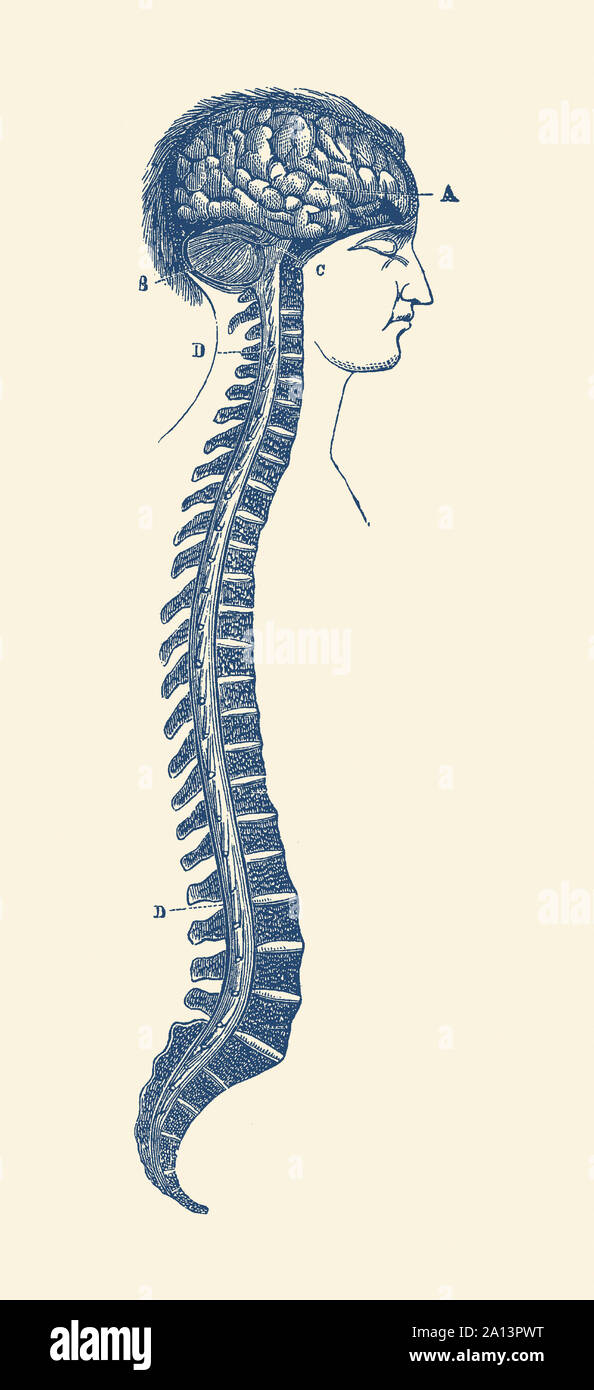 Vintage diagram of the human spinal cord and in Stock ... on spine layout, spine joints, spine icon, spine numbering, spinal cord injury, pharyngeal arch, spine surgery, spine cartoon, spine too straight, spine fracture, spine graphic, skeletal pneumaticity, spine with nerves, spine segments, spine drawing, spine chart, spine with numbers, spine clipart, spine model, spine x-ray, spine l5-s1, spine anatomy, spine bones,