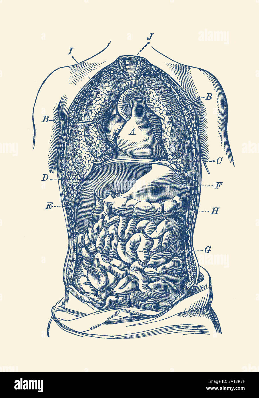 Vintage Diagram The Human Digestive System Showcasing The