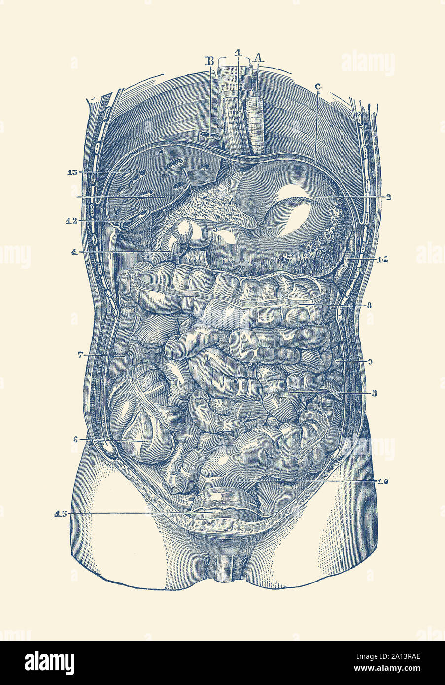 Digestive System Drawing Stock Photos Digestive System