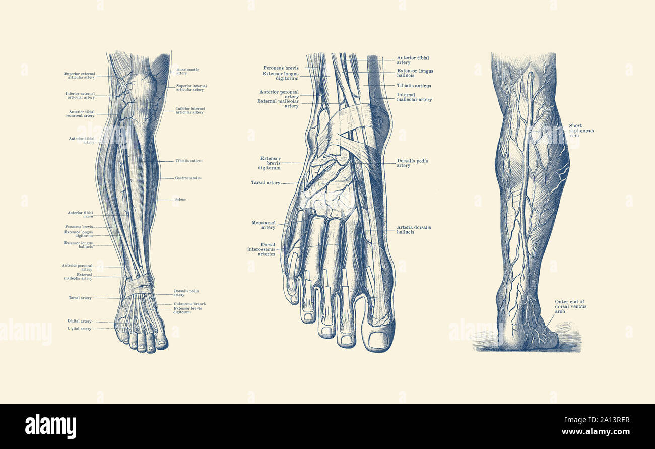 A Multi View Of The Human Leg And Foot Showcasing The Veins Tendons And Arteries Stock Photo Alamy