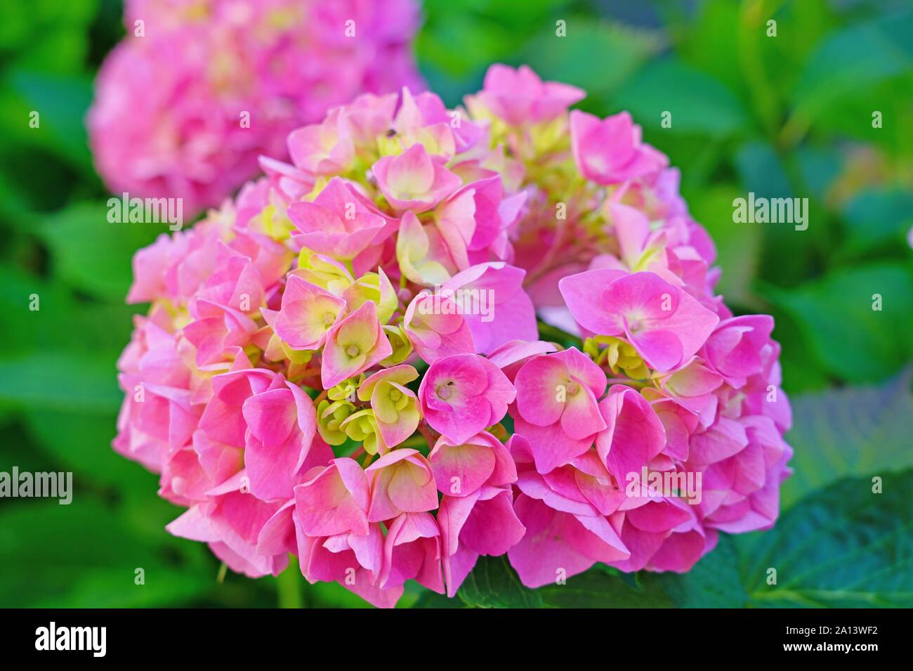 Pink Heads Of Hydrangea Flowers Stock Photo 327697526 Alamy