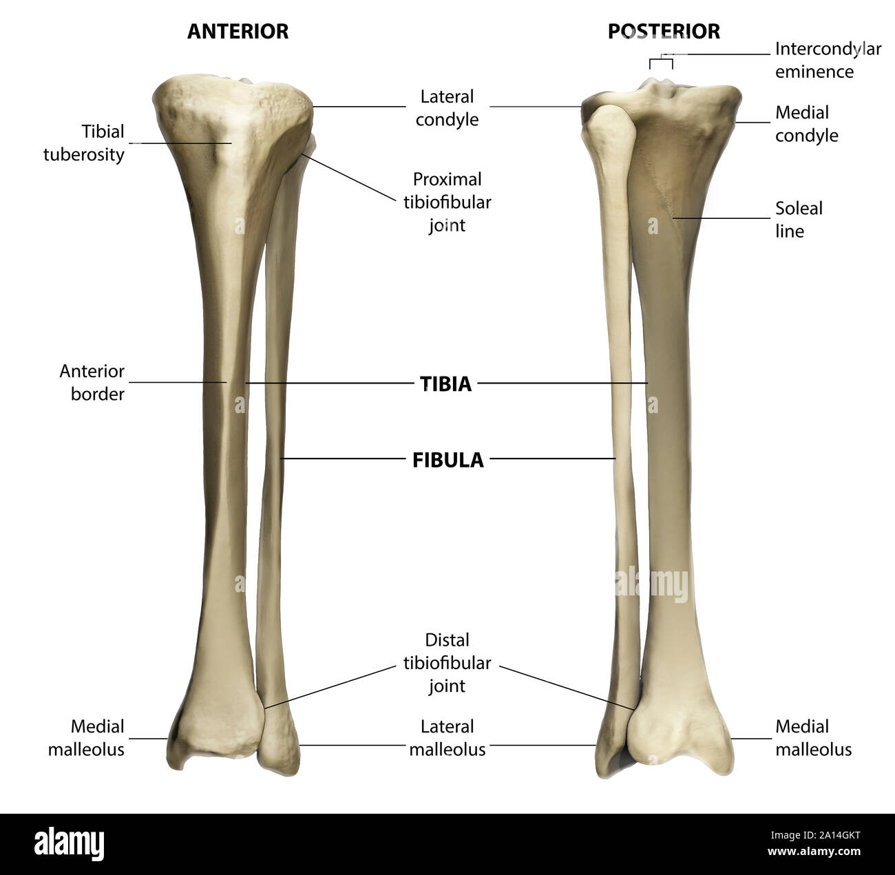 Anterior and posterior view of the tibia and fibula with ...