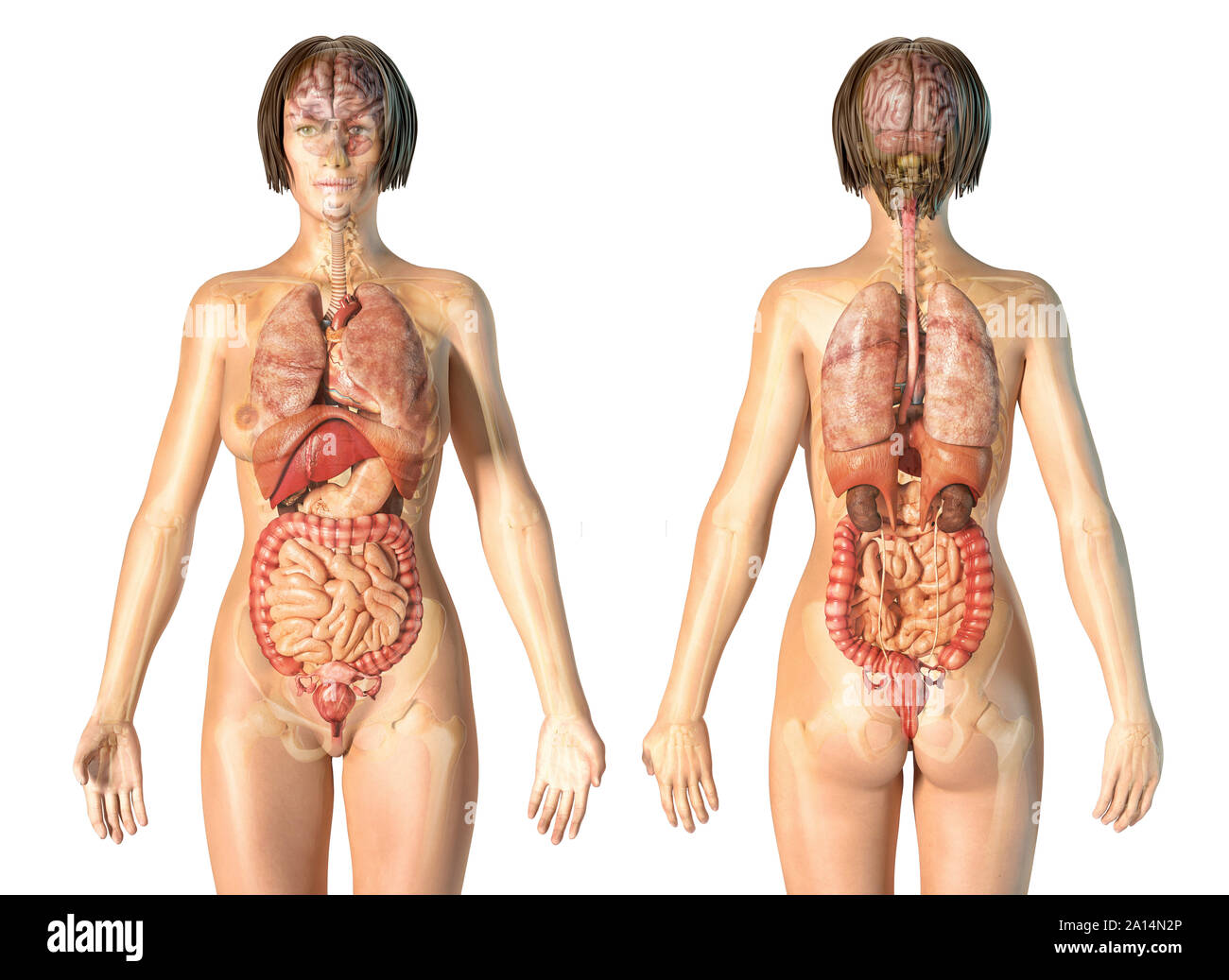 Female Anatomy High Resolution Stock Photography And Images Alamy