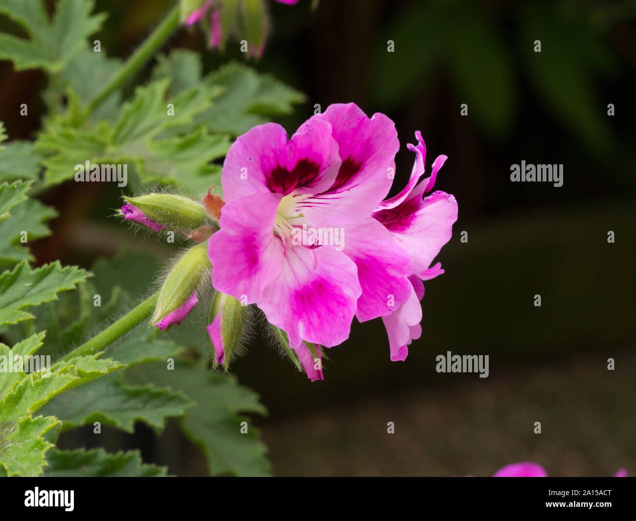 A close up of the flowers of Geranium Orsett Stock Photo