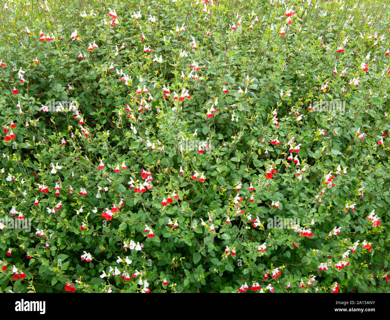 A large plant of Salvia Hot Lips showing the characteristic small red and white flowers Stock Photo