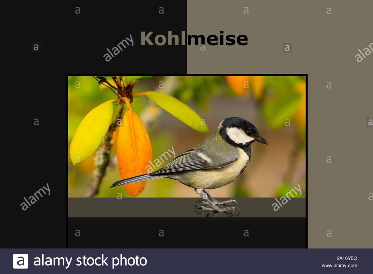 Vogel-Portrait-Kohlmeise. Hintergrund Nr.16 Rahmen Nr.3 Stock Photo
