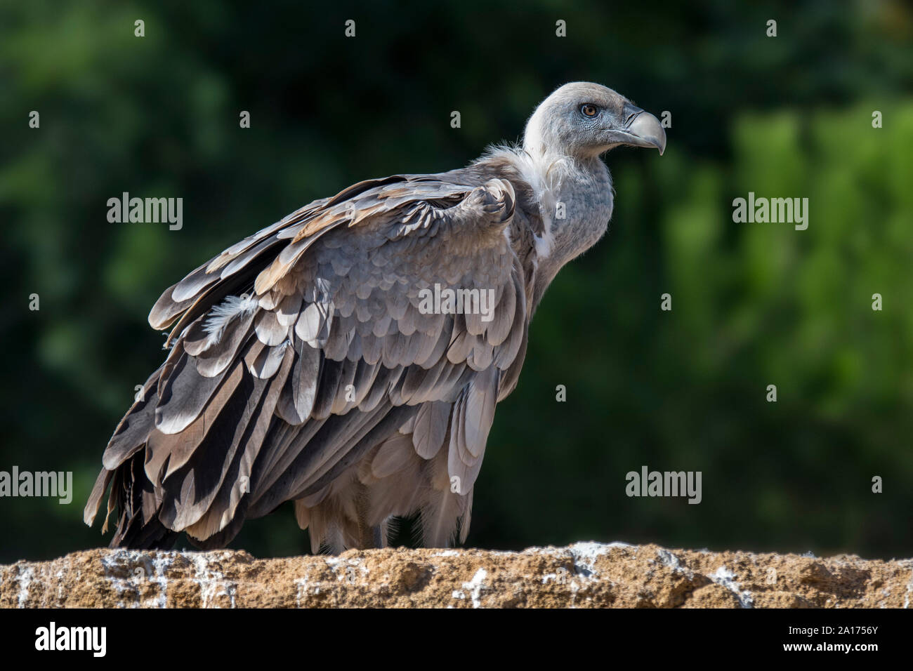 Griffon vulture (Gyps fulvus) perched on rock, native to France and Spain in Europe Stock Photo