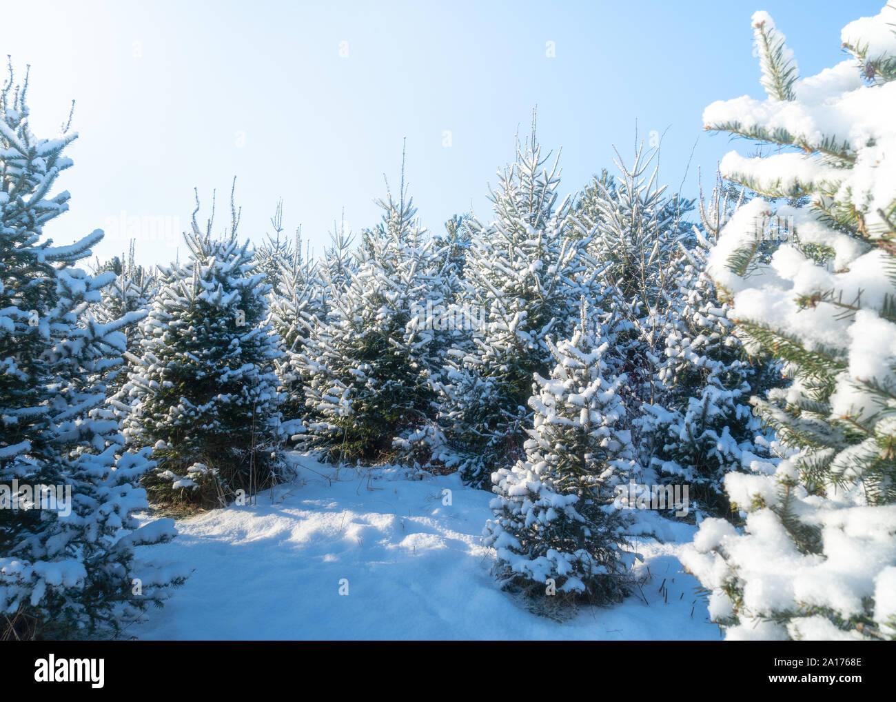 Snow Covered Trees At A Christmas Tree Farm Stock Photo Alamy