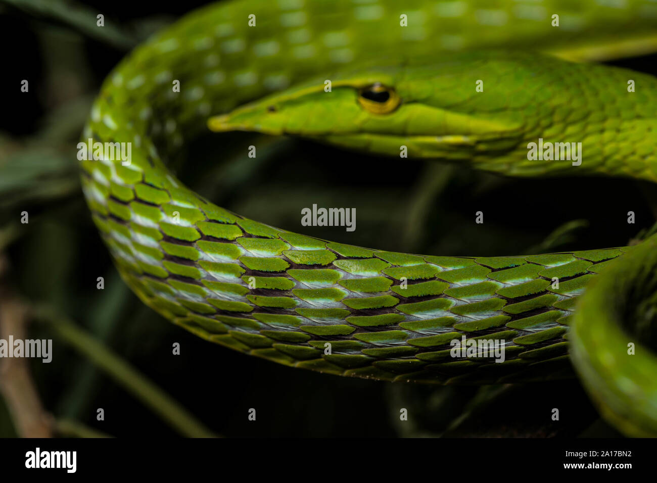 Long-nosed Whipsnake (Ahaetulla nasuta) from Prachuap Khiri Khan Province, Thailand. Stock Photo