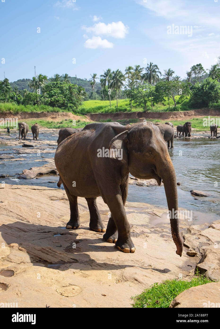 Pinnawala/ Sri Lanka: AUGUST 03- 2019: Asian elephants walking  in a river near the village of Pinnawala. Here is a nursery and captive breeding groun Stock Photo