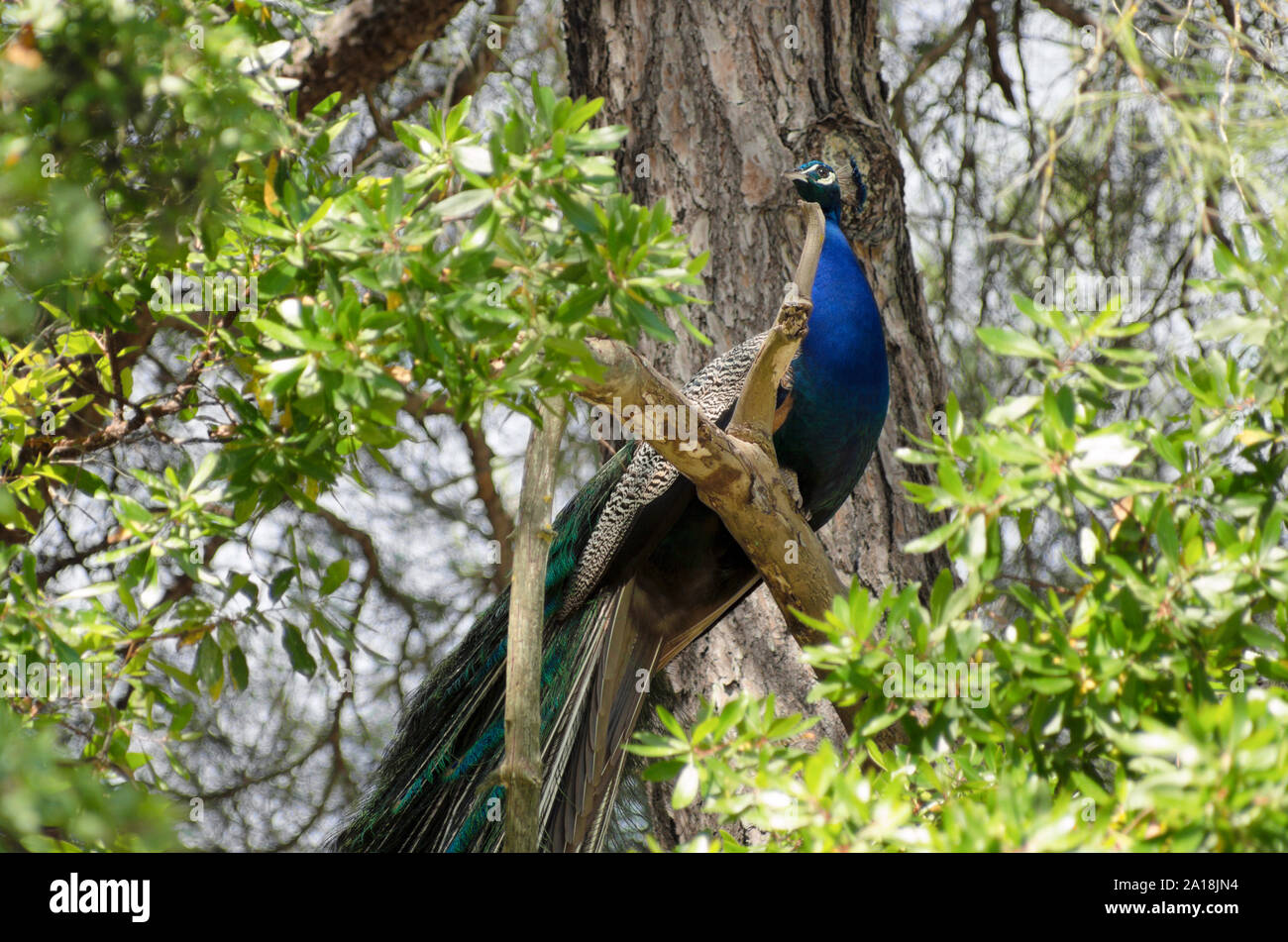 Peacock sitting on a tree branch and peering into the distance on a blurred background Stock Photo