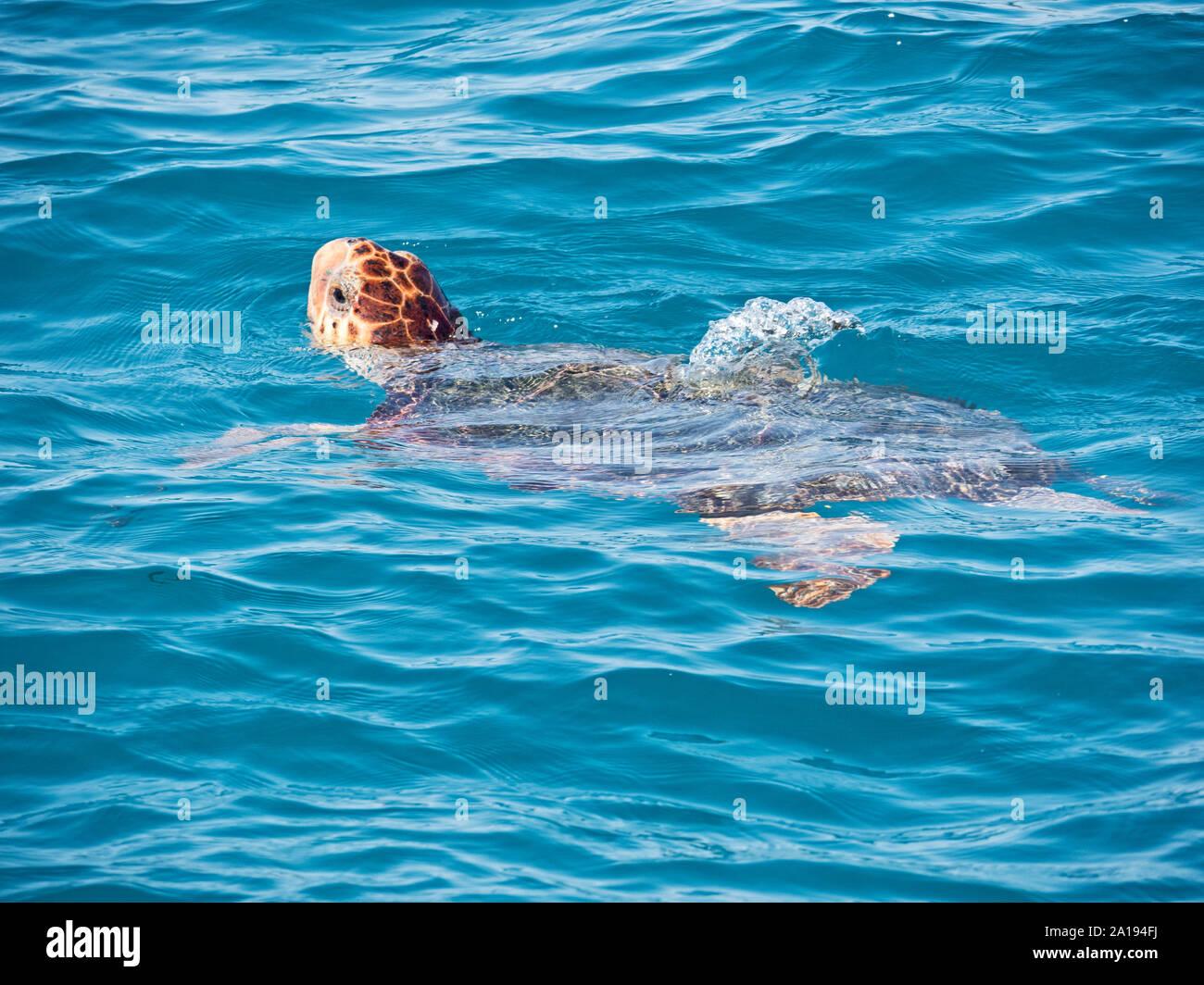 Loggerhead Turtle, Caretta caretta, Greece, Mediterranean Stock Photo