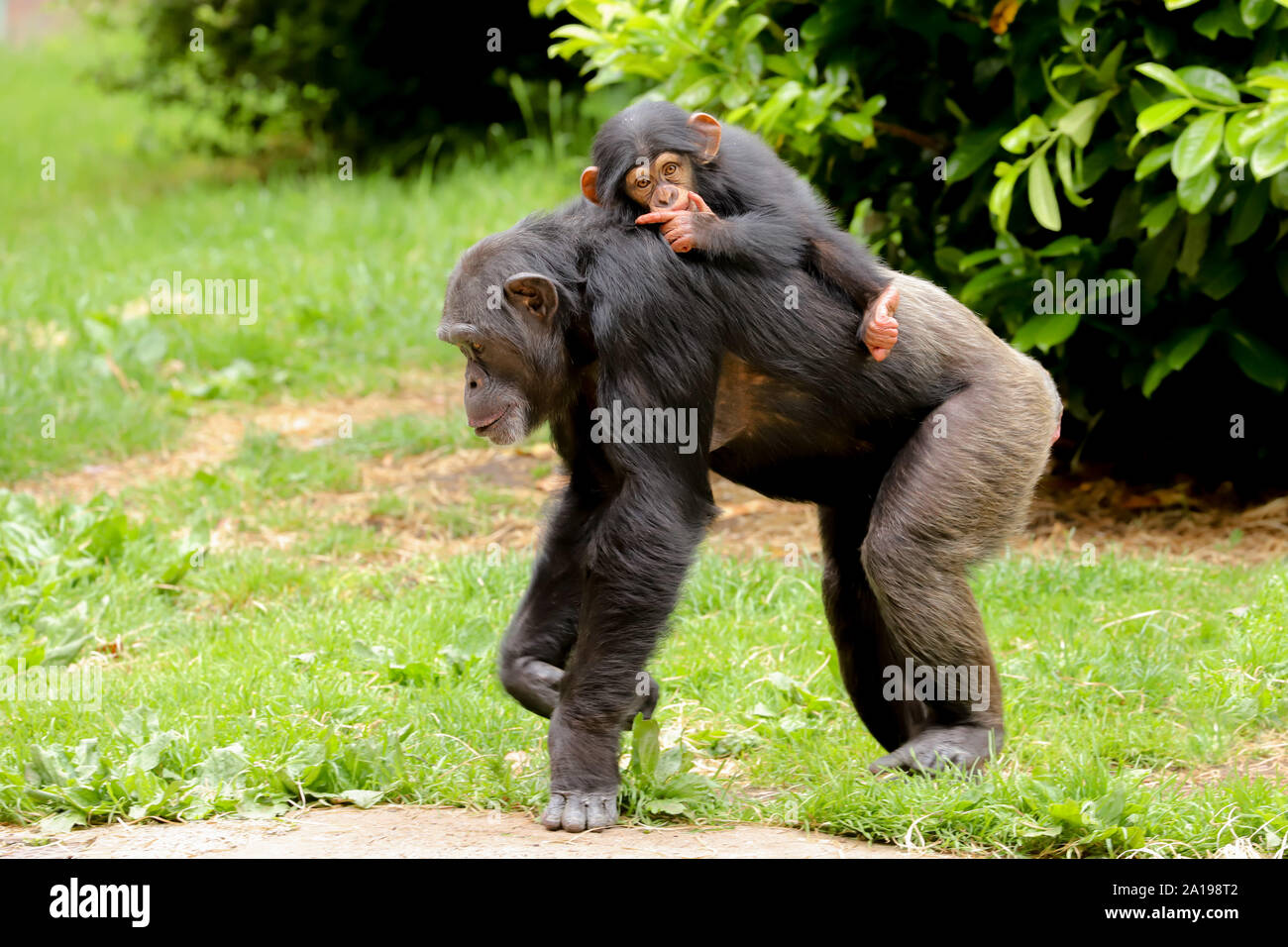 A mother chimpanzee walking along with a cute baby riding on its back sucking its thumb Stock Photo
