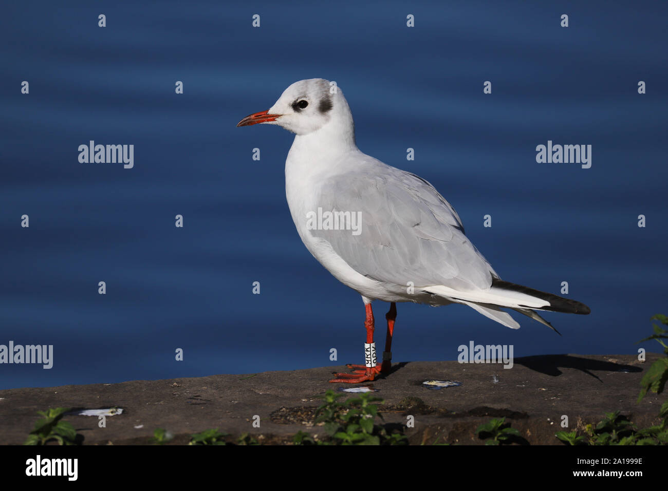 Adult Black Headed Gull (Chroicocephalus ridibundus) standing by the edge of a lake.  Taken in Cardiff, Wales, UK Stock Photo