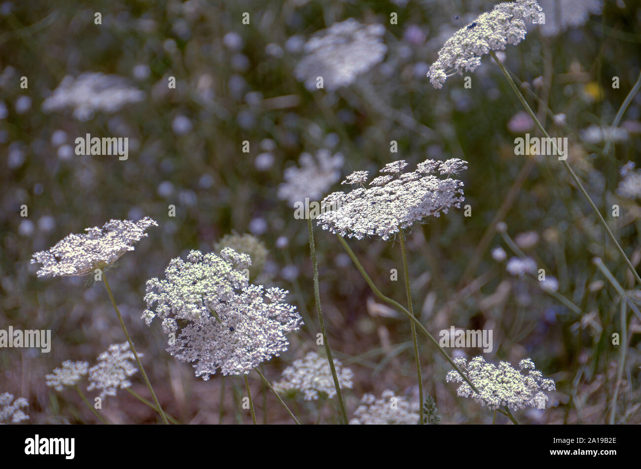 Daucus carota (common names include wild carrot, bird's nest, bishop's lace, and Queen Anne's lace). Photographed in June in the Carmel Mountain, Isra Stock Photo