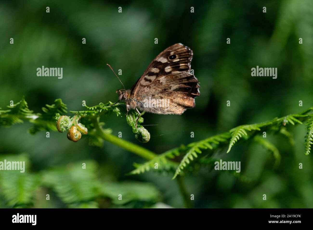 Speckled Wood butterfly (Pararge aegeria) wings closed Stock Photo