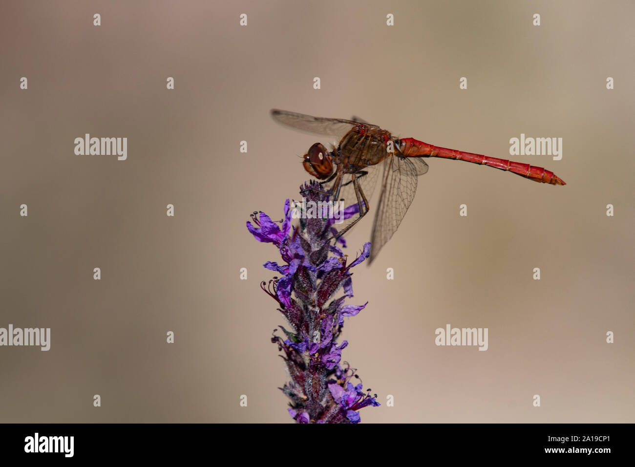 Moustached Darter Dragonfly, (Vagrant Darter) (Sympetrum vulgatum), male Stock Photo
