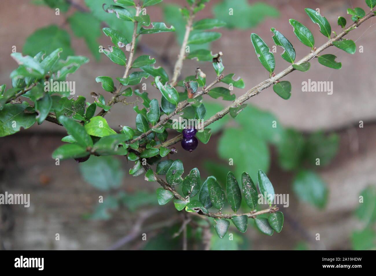 Garden Shrub With Purple Berries Stock Photos Garden Shrub With