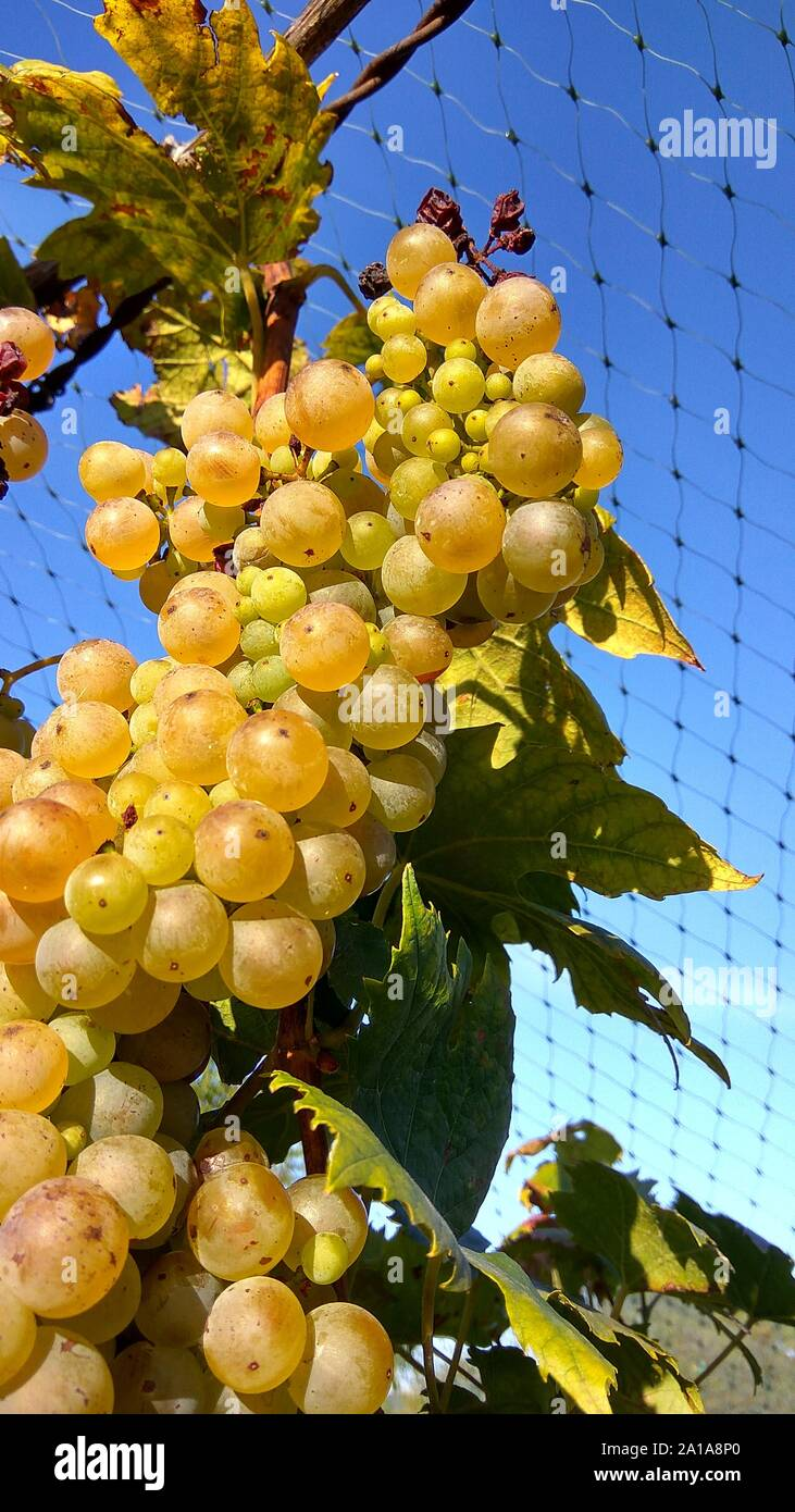 Photo closeup of net protection for wine grapes at autumn harvest time Stock Photo