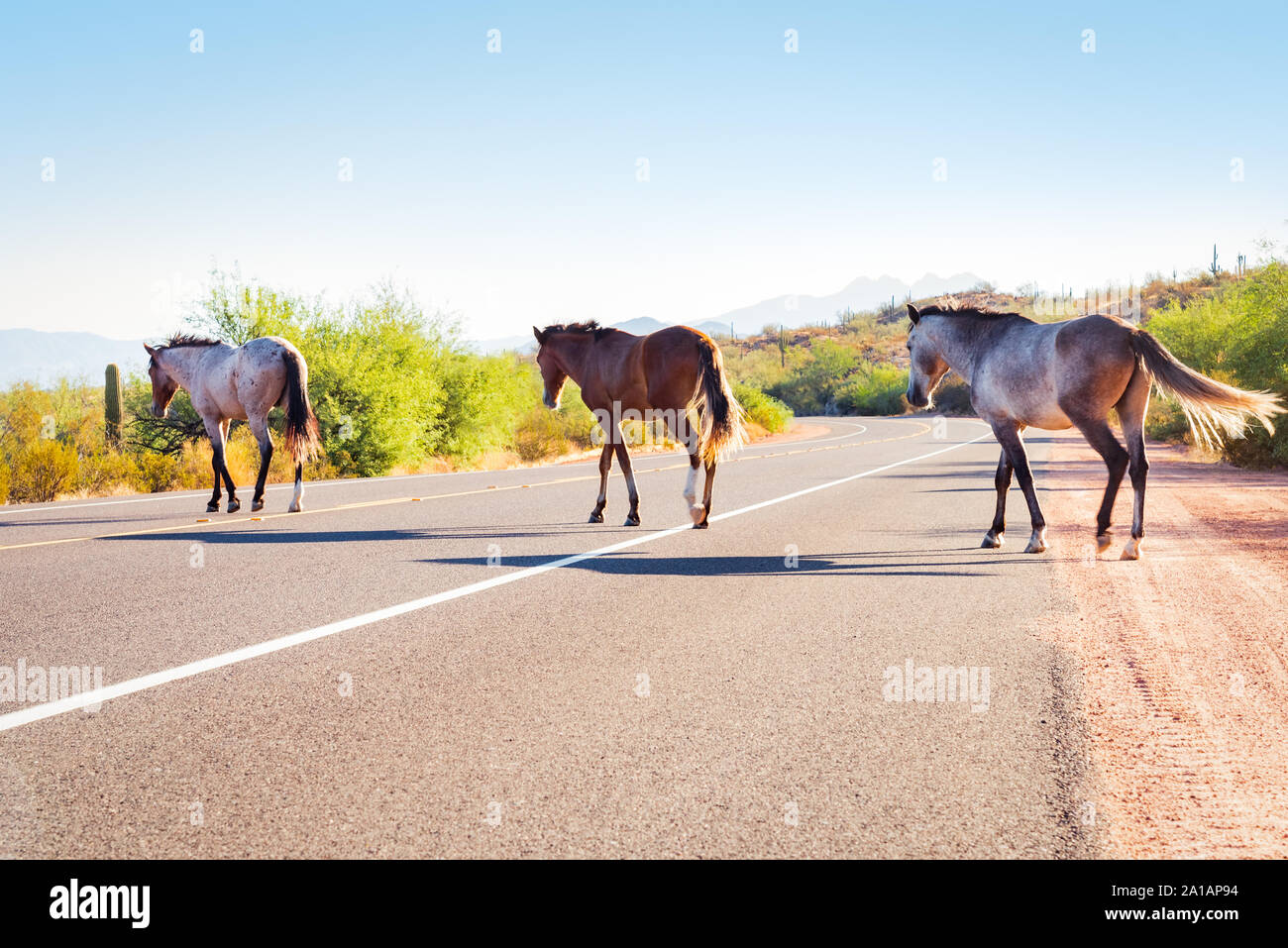 Salt River wild horses crossing the road in the Lower Salt River recreation area of Tonto National Forest, Arizona. Stock Photo