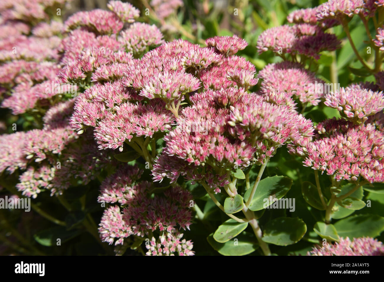 Flower Plant Small Pink Buds Stock Photos Amp Flower Plant