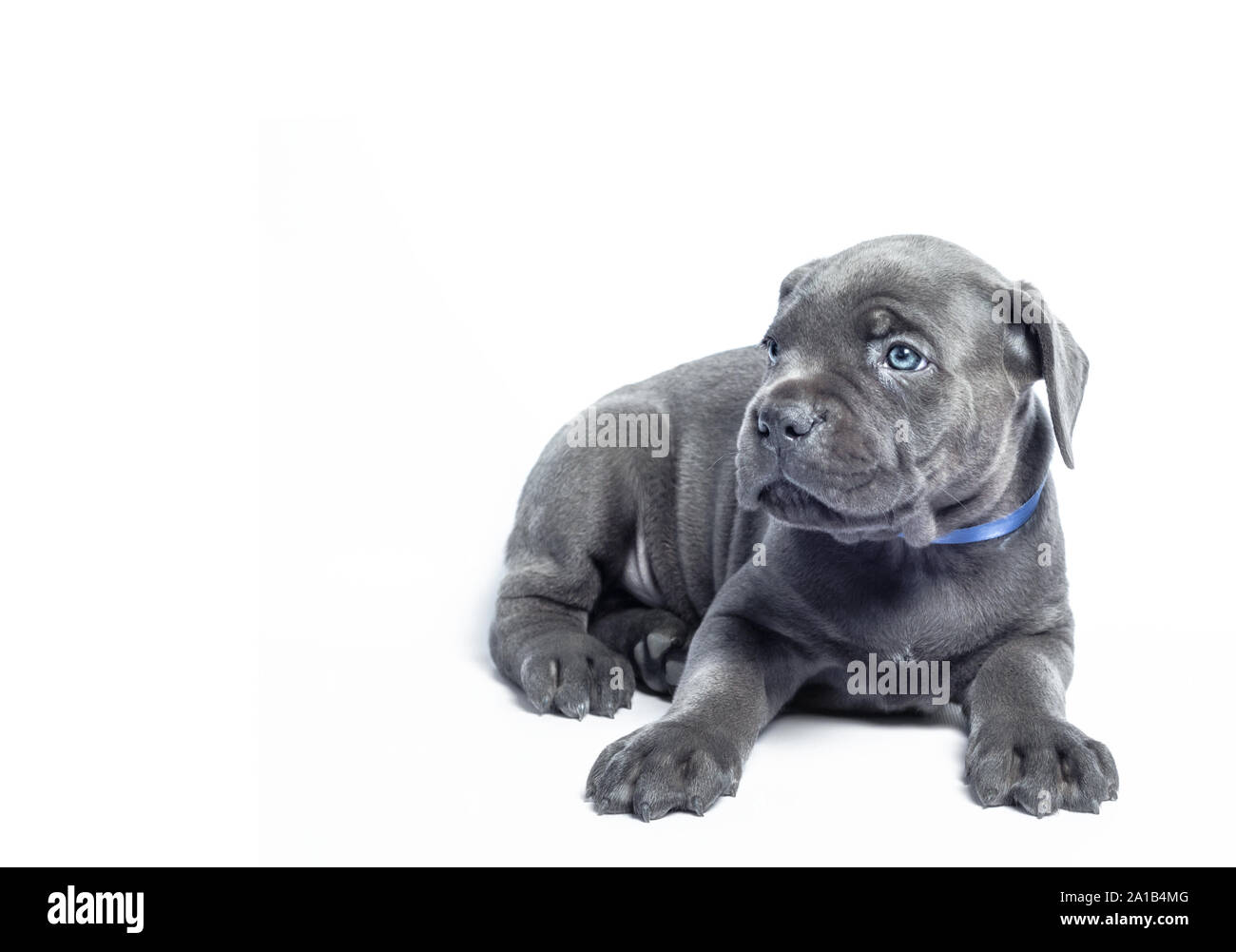 Little Puppy Dog Of Breed Canecorso On A White Background In Isolation Closeup Stock Photo Alamy