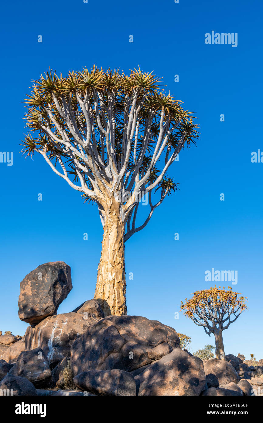 Quiver Tree or Aloidendron dichotomum, Quiver Tree Forest, Keetmanshoop, Karas, Namibia Stock Photo