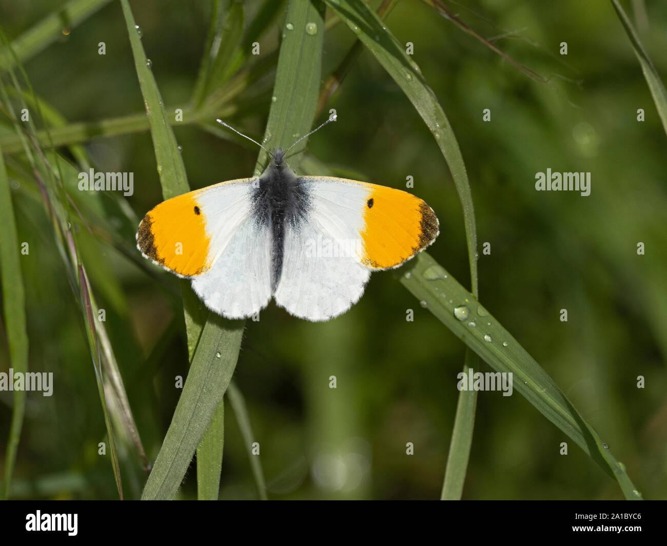 orange-tip butterfly Anthocharis cardamines Norfolk spring Stock Photo