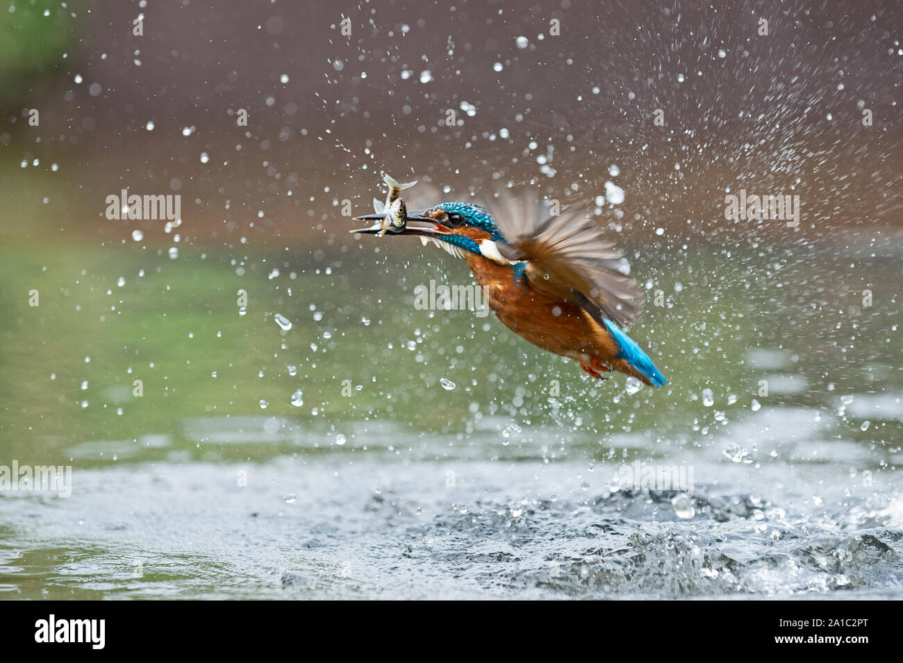 Common Kingfisher  Alcedo atthis diving for fish Worcestershire Stock Photo
