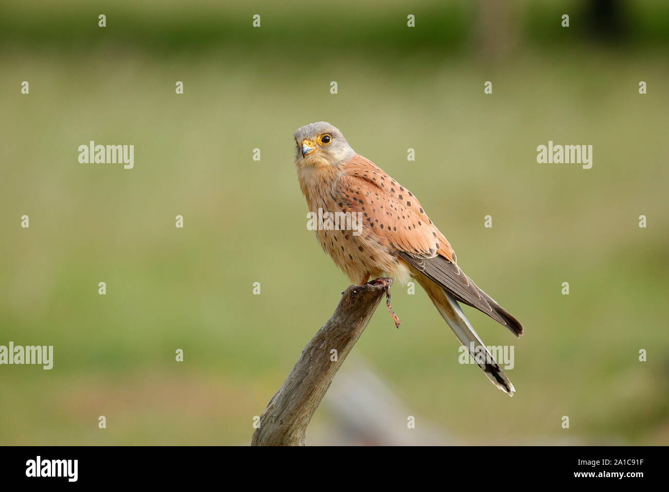 The Common Kestrel Is A Bird Of Prey Species Belonging To The Kestrel Group Of The Falcon Family Falconidae It Is Also Known As The European Kestrel Stock Photo Alamy