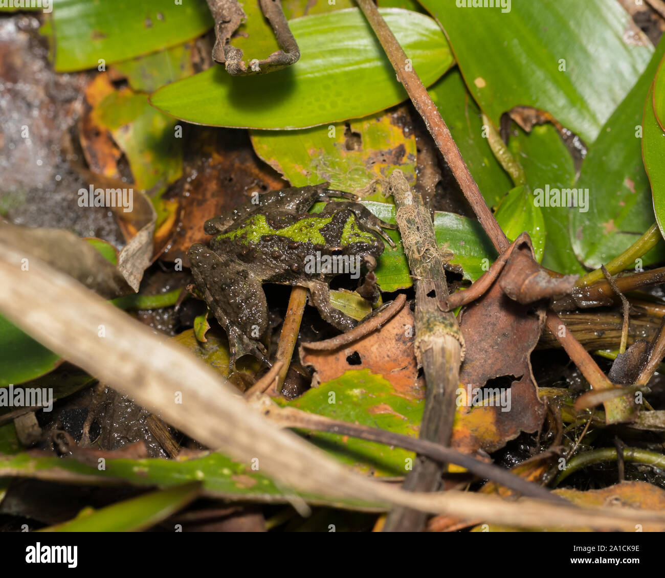 Blanchard's cricket frog, tree frog species, in its natural environment of vegetation on the shore line of a pond. Stock Photo