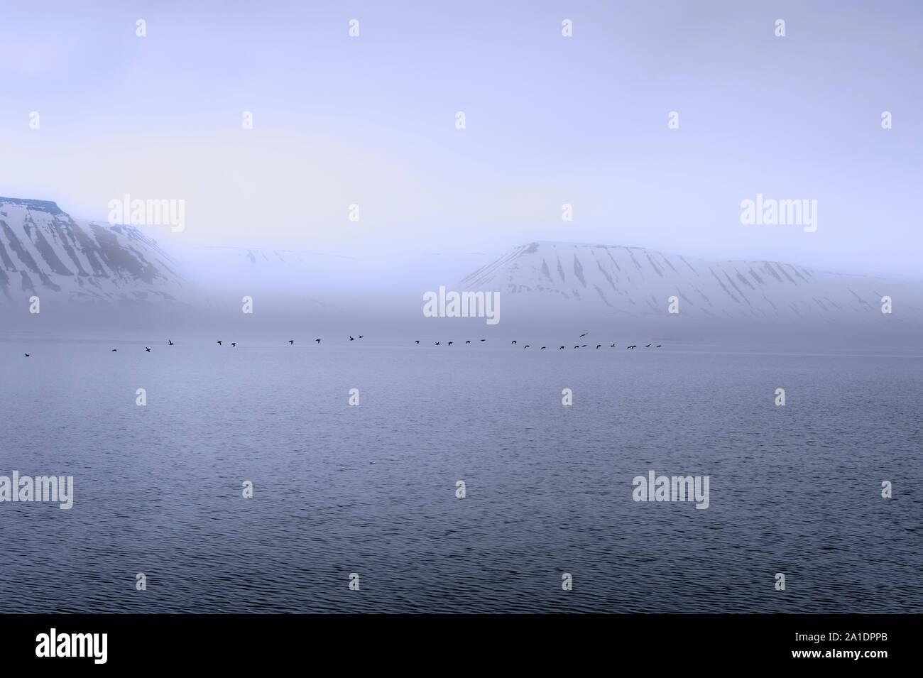 Flock of Thick-billed Murres (Uria lomvia) or Brunnich's guillemots Lying over Hinlopen Strait, Spitsbergen Island, Svalbard Archipelago, Norway Stock Photo