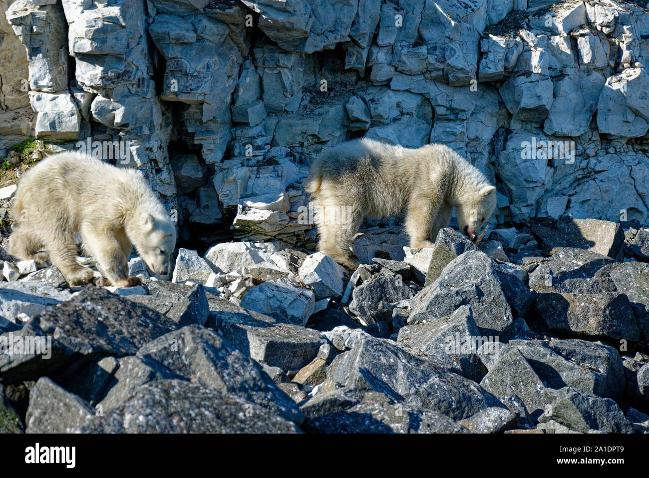 Two polarbear cubs (Ursus maritimus) looking for food at the bird cliff Alkefjellet, Hinlopen Strait, Svalbard, Norway Stock Photo