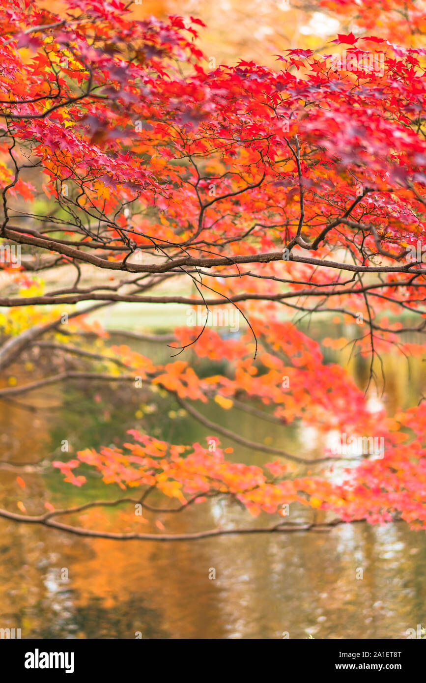 Beautiful Autumn Colors Of Japanese Maple Tree Iroha Momiji Leaves