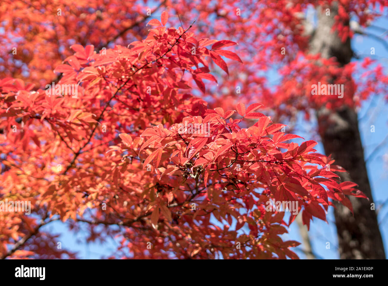 Maple Tree Turn Its Leaves To Red In Autumn Stock Photo 327939382