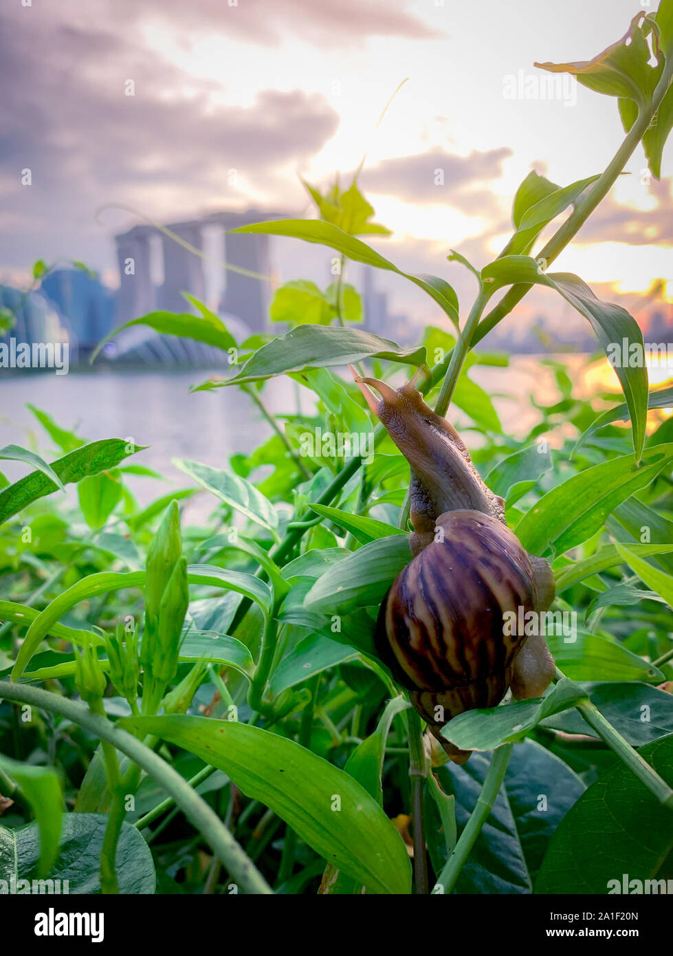 Snail climbing on plant in the evening beside the river opposite landmark building of Singapore at sunset. Slow life concept. Slow travel in Singapore Stock Photo