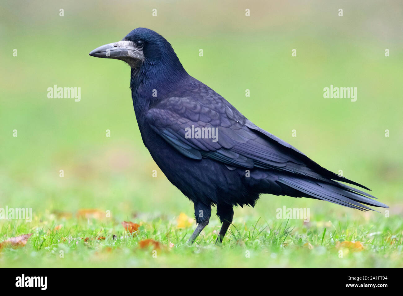 Rook (Corvus frugileus), side view of an adult standing on the ground, Warsaw, Poland Stock Photo